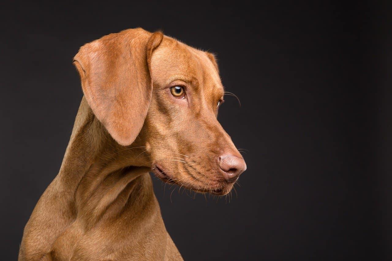 כלב מבוגר